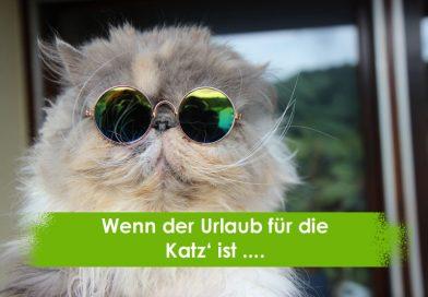 Perserkatze mit Sonnenbrille